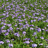 Carpet of purple and green